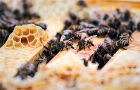 Harzer Honig, Quedlinburg